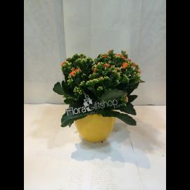 Calandiva Plant Small