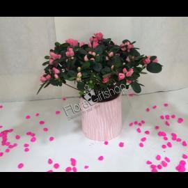 Fancy Pink AZALEA PLANT
