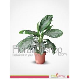 Dieffenbachia Plants 3