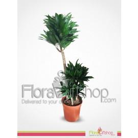 Compacta Plants