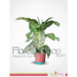 Dieffenbachia Plants 2