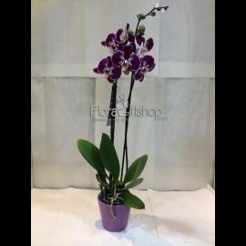 Orchida  MP19