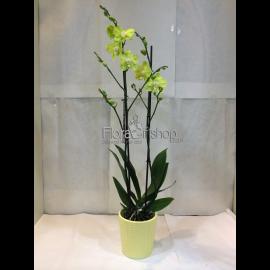 Orchida