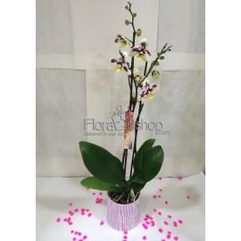 Phalaenopsis Orchida