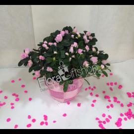 Pink AZALEA PLANT (MP5)