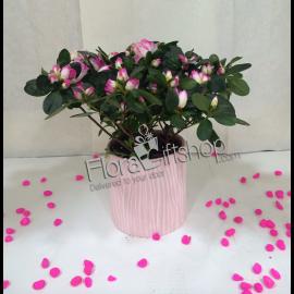 Pink & White AZALEA PLANT