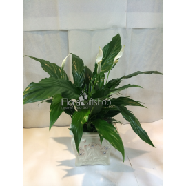 Sptphulume Plant