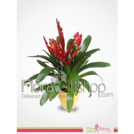Guzmania Plants Wardati 1